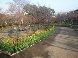 梅園と菜の花