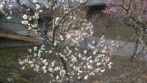 白い梅花「玉牡丹」